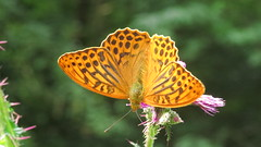 Silver washed fritillary (hedgehoggarden1) Tags: uk nature butterfly insect outdoors wildlife norfolk butterflies lepidoptera eastanglia silverwashedfritillary holtcountrypark canonpowershotsx50hs