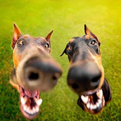 I Nose You Have Treats! (taylorblaire13) Tags: photography pet dogs dog cute funny canon fisheye wideangle dobermanduo duo dobermann dobermanpinscher