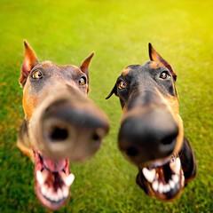 I Nose You Have Treats! (taylorblaire13) Tags: photography pet dogs dog cute funny canon fisheye wideangle dobermanduo duo dobermann dobermanpinscher
