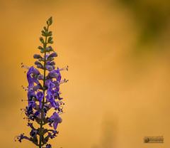 Solitaria (marcus turkill) Tags: flowers flores nikon nikond3300 nature naturaleza macro macrofotografia macrophotography malva purple summer verano