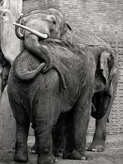 Affection (Tilemachos Papadopoulos) Tags: blackandwhite bw elephant monochrome zoo mono zoologischer qoq m43 mft mirrorless