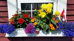 Flower Box - 221 / 366 Project (Tina Dean) Tags: 365project 365project2016 366project 366project2016 flower simplyflowers flowerbox windowbox colors imagesfromtheshutter tinamdean tinadean tmdean tinagfw