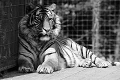 Tiger Shade - Explored (EJ Images) Tags: thrigby thrigbywildlifepark wildlifepark zoo animals norfolk england eastanglia uk nikon nikonslr nikondslr slr dslr 2016 ejimages 55300mmlens nikond90 d90 nef tiger blackwhite monochrome mono bw dsc0842c