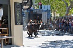 Abrivado_Voto_2016-26 (amcadweb) Tags: fontvieille camargue taureau fte