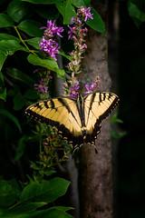Stuck on Purple (Portraying Life) Tags: michigan unitedstates dundeebutterflycount butterfly handheld closecrop naba da3004hd14tc