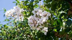 201608_08_2560 (noriko_v) Tags: crapemyrtle flower summer nature