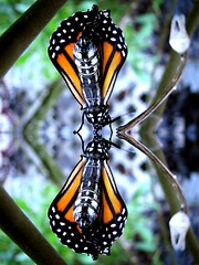 Reflecting Newborn Monarch (Globetoppers) Tags: picmonkey monarch metamorphosis mirror mirrored coccoon cocoon born birth emerging orange green milkweed