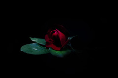 Out of darkness she rose... (SolsticeSol) Tags: rose romance love redrose passion