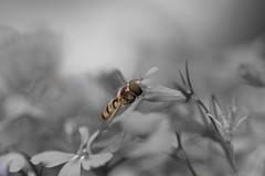 (i_shoot_the_moment) Tags: bw blackwhite photoshoot insekt baw schwarzweis colosplash schweber