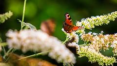 Aglais io (XotoXJean) Tags: schmetterling flieder insekt tiefenschrfe