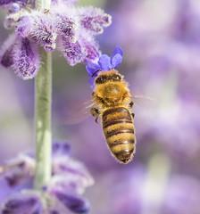 Bee in Lavender. (Omygodtom) Tags: existinglight elitebugs bee digital diamond detail bug insect portland outdoors nature nikon d7100 nikkor honeybee hoochie lavender f28