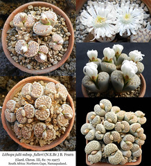 Lithops julii subsp. fulleri (collage) (Succulents Love by Pasquale Ruocco (Stabiae)) Tags: lithops julii fulleri collage pasqualeruocco piantegrasse piantagrassa plantesgrasses stabiae succulentslove succulents succulente southafrica sassifioriti succulent succulentas forumcactusco floweringstones aizoaceae mesembs mesembryanthema mesembryanthemum mesembryanthemaceae mimicry mimetismo capeprovince namaqualand cactusco