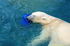 ijsberen_22 (Arnold Beettjer) Tags: wildlands emmen dierenpark dierentuin dierenparkemmen ijsbeer ijsberen polarbear