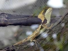 Zoo Ffm Gezackter Helmleguan (Corytophanes hernandesii) P1010723 (martinfritzlar) Tags: zoo frankfurt tier reptil basilisk helmleguan corytophanidae corytophanes hernandesii hernandezs helmeted