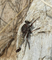 Male robber fly (Bug Eric) Tags: animals wildlife nature outdoors insects bugs flies robberflies asilidae diptera male bisbee arizona usa efferia northamerica july252016