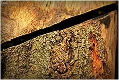 Fracturas (LAGRAJA) Tags: tronco trunk fractura fracture corteza corte rind cut