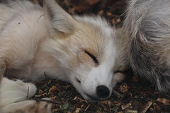 Platinum/Amber Fox (charliejb) Tags: platinum fox mammal fur furry furred 2016 northsomersetbirdsofprey platinumfox amberfox