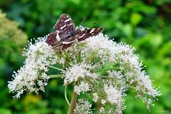 Nettersheim in der Eifel (mama knipst!) Tags: schmetterling butterfly eifel nettersheim august natur