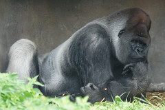 Bokito (Ronaldc5) Tags: rotterdamzoo sony a99 tc14 sal70200g gorilla bokito silverback