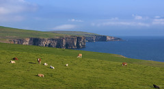 a place for very happy cows - HFF! (lunaryuna) Tags: scotland northernisles orkneyisles orkneys coastline steepcliffs northatlantic landscape seascape cpast weather summer season pastures cows happycows furryfriday lunaryuna