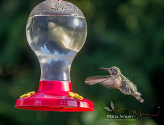 Almost there (mariajensenphotography) Tags: comox nature outdoors birds hummingbirds hummingbird bird garden feeder feeders flying sunshine