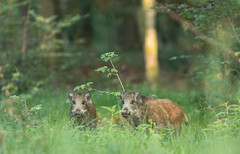 Rousses (Eric Penet) Tags: mormal animal sauvage avesnois france nord nature wildlife wild mammifre fort faune forest mammal t aot sanglier boar suid jeune