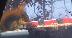 Squirrel 20140928 (caligula1995) Tags: 2014 balconygarden scrubjay squirrel