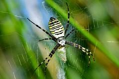 Wasp spider(Argiope bruennichi)   -! Poisonous! DSC_0332 (Me now0) Tags: spider park europe nikond5300 basiclens 1855mmf3556 summer    5300    poisonousspider waspspider argiopebruennichi