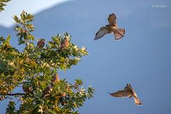Falco naumanni (Tonia Galani) Tags: falco naumanni falconaumanni lesserkestrel ioannina toniagalani nature birds wildlife falcon nikon d800