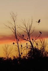 Great Egret Joins The Sunset Crowd (smfmi) Tags: wetlandsegretegrets birds michigan frohm pentax ks2 pentaxks2 justpentax pentaxlife