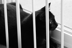 Blinds (Imaginos Eternal Photography) Tags: imaginos eternal photography cat blackandwhite