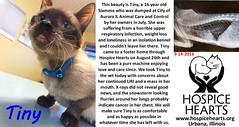 Tiny's Story (Hospice Hearts) Tags: hospicehearts urbana champaign illinois il tiny cat cats foster feline felines foreverhome rescue adopt wwwhospiceheartsorg 91416 september september142016 animalrescue cancer tinysstory
