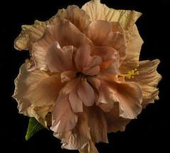 Shades Of Orange In A Hibiscus (Bill Gracey 15 Million Views) Tags: fleur flower flor hibiscus nature naturalbeauty orange offcameraflash homestudio macrolens macrophotography blackbackground roguegrid softbox yn560iii yongnuorf603n backlighting color colorful textures