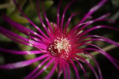 Spider (J-BENOIT) Tags: inarow macromondays macro flower spider