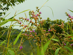 Little flowers (Inai Mello) Tags: pink flowers brazil sky plants green nature leaves cloudy gois altoparaso chapadadosveadeiros greass