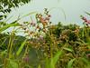 Little flowers (Inaiê Mello) Tags: pink flowers brazil sky plants green nature leaves cloudy goiás altoparaíso chapadadosveadeiros greass
