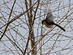 _MG_0032 (yapaphotos) Tags: bird nature  wildlife queue oiseau sauvage msange longue