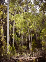 "Mambray Creek gums • <a style=""font-size:0.8em;"" href=""http://www.flickr.com/photos/44919156@N00/17040863715/"" target=""_blank"">View on Flickr</a>"