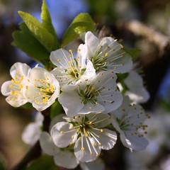 Spring Blossom (Crisp-13) Tags: white tree spring blossom plum petal