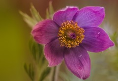 Warmth (Explore) (jeanmarieshelton) Tags: flower nature closeup nikon pretty purple fuzzy bokeh tamron upclose pasqueflower fuzz jeanmarie jeanmarieshelton