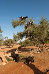 gotas on an argan tree, marocco (Nicolas Petit) Tags: tree maroc marocco marokko studiosus argan nicolaspetitfotografie