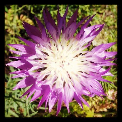 שמש סגולה #שמש #פרח #נוציץ #plumosus