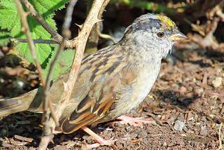 2015 Apr 07 Golden-crowned Sparrow 5681