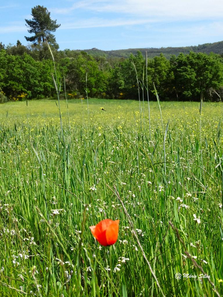 Águas Frias (Chaves) - A tulipa solitária ...