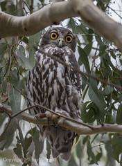 Barking Owl (Ninox connivens) (Mickspixx) Tags: barkingowl ninoxconnivens ninox