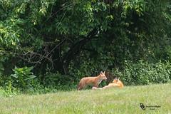 DNG - 20150603-11-36-01 (Donald.Gallagher) Tags: summer usa nature animals de wildlife northamerica delaware pup mammals foxes redfox pikecreek lenstagger tokinaaf100mmf28macro