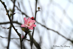 Cherry blossoms (~~ Y.C.CHEN) Tags: pink light brown white plant black flower color tree nature beautiful canon bokeh 7d