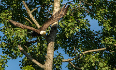 Bald Eagle    -    Explore (Kevin Povenz) Tags: 2016 july canon7dmarkii kevinpovenz sigma150500 westmichigan michigan ottawa ottawacounty ottawacountyparks grandravinesnorth birdsofprey bird baldeagle eagle nature outdoor wildlife flight morning sunny sun bright fly wings