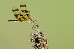 Halloween Pennant-44345.jpg (Mully410 * Images) Tags: ramseycountypark ricecreeknorth dragonfly mullein ramseycounty park insect halloweenpennant bug ricecreek