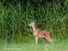 Watching ... (Lindell Dillon) Tags: oklahoma nature wildlife fawn whitetail lindelldillon